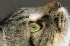 Corduroy, así es el gato más viejo del mundo