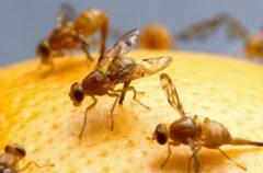 Energía nuclear y moscas: Así se evita la proliferación de la especie con energía nuclear