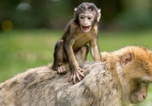 Estos monos procrean menos porque gritan más