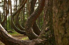 El bosque torcido de Polonia, un lugar en el que los árboles están doblados