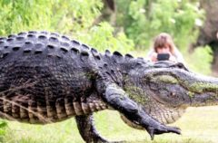 Este cocodrilo gigante parece un dinosaurio… Pero existe
