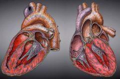 Es real: el corazón de las mujeres late más rápido que el de los hombres