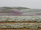 Desierto florido, el milagro de Atacama