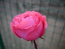 """""""Festival de las rosas"""" en Kelaa M'Gouna"""