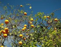 Berkan, la capital de las naranjas de Marruecos
