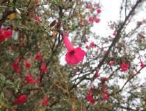 Cantuta, la flor nacional de Perú