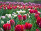 Los tulipanes y la Tulipomanía