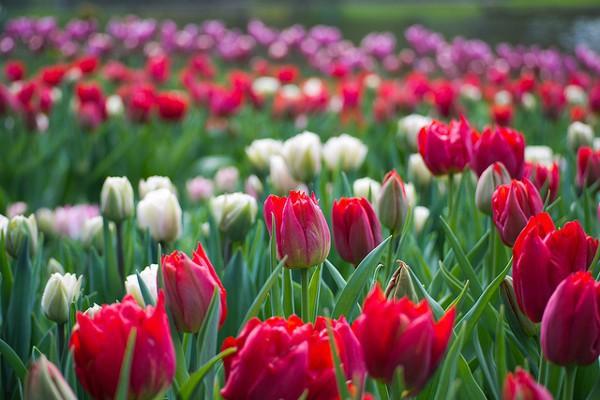 En primavera, Holanda se llena de color gracias a los tulipanes