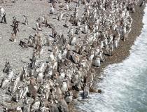 Conoce los pingüinos de Magallanes en Punta Tombo