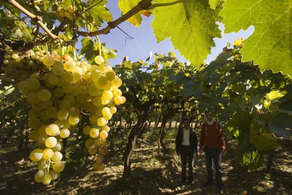 Cultivo de uva para torrontes