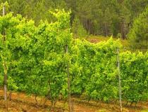 El Vino Verde de Portugal, denominación de origen