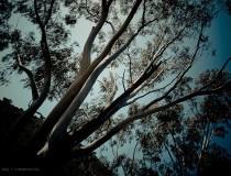 Bosque de eucaliptos en Solaro