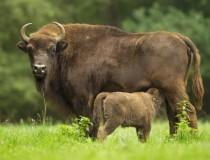 Los bisontes de la Reserva de Sainte-Eulalie