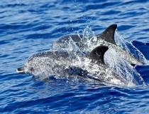 Avistamiento de delfines y ballenas, excursión típica en Madeira