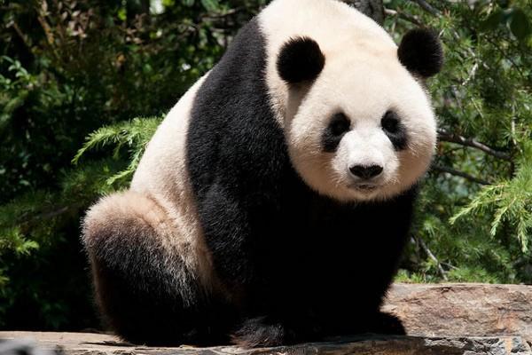 Panda gigante, la mayor atracción del zoológico de Adelaida