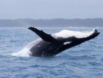 Hervey Bay y el avistamiento de ballenas jorobadas