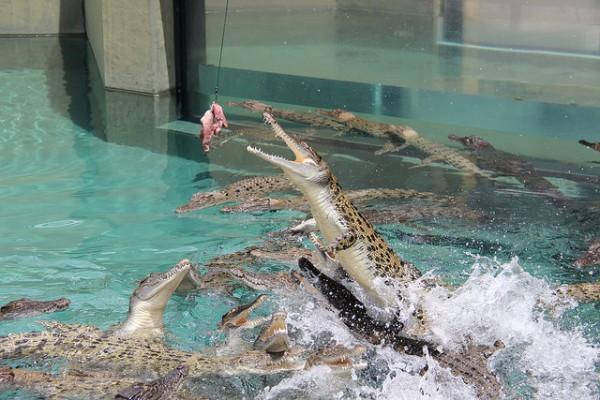 Alimentando a los cocodrilos en Crocosaurus Cove