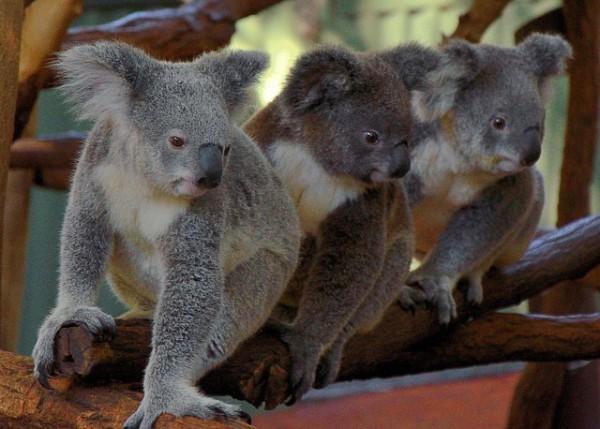 Koalas en el santuario de Lone Pine, en Brisbane