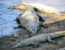 Safari para ver cocodrilos en Costa Rica