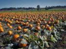Recoger calabazas para Halloween en Vancouver