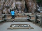 El General Sherman, uno de los árboles más grandes del mundo