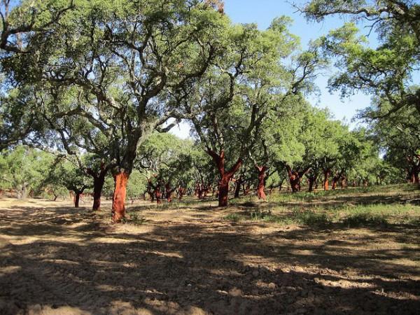 Bosque de alcornocales a las afueras de Évora