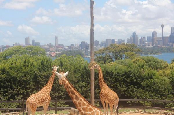Las jirafas disfrutan de las vistas en el zoo de Sidney