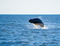 El avistamiento de ballenas jorobadas, el gran atractivo de Samaná