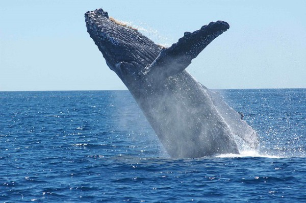Las Ballenas Jorobadas atraen a muchos turistas a Samaná