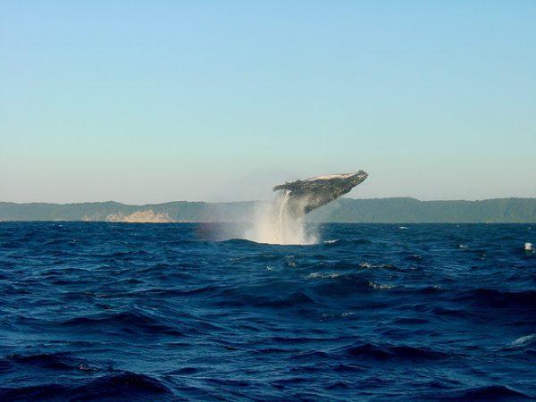 Comienza la temporada de avistamiento de la ballena jorobada