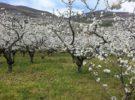 La increíble belleza de las floración de los cerezos del Jerte en primavera