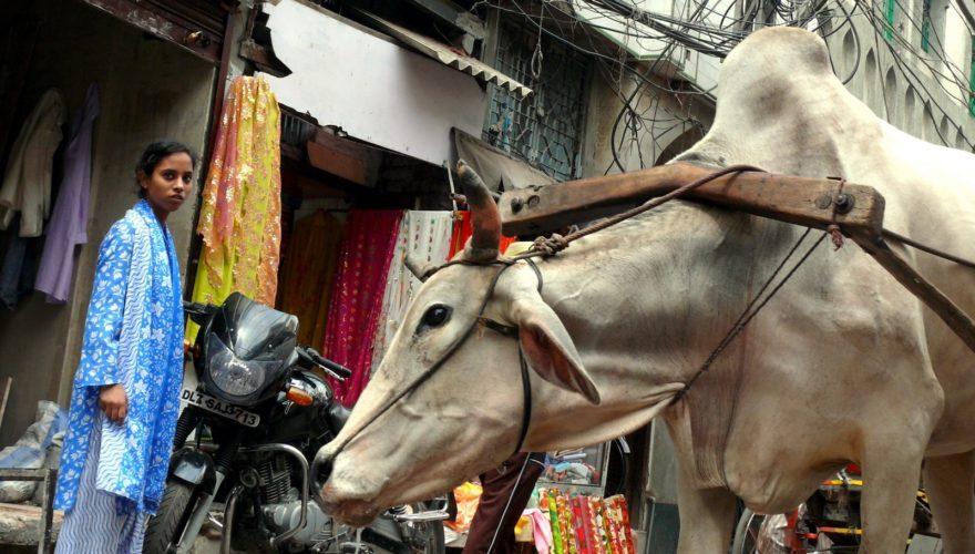 Vaca Nueva Delhi India