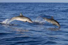 Madeira como destino para el avistamiento de ballenas y delfines