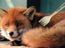WildFox: desarrollo independiente de Firefox con soporte H.264