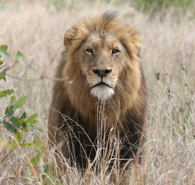 Discovery MAX muestra este domingo la vida íntima de los leones