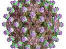 La vacuna contra la Hepatitis B permitiría erradicar la enfermedad