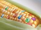 Los alimentos transgénicos pueden ser causa de esterilidad
