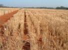 Alergia a los cereales (II)