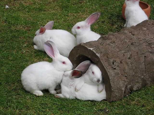 El extraño caso de la mujer que dio a luz conejos
