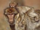 Las madres de los macacos producen leche distinta según el sexo del bebé